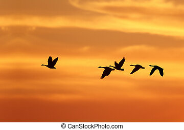 Canada Geese Migrating South in Autumn - Canada Goose...