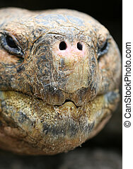 Close up Giant Galapagos Tortoise - Head Shot; on Santa Cruz...