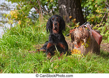 setter near to gun and trophies - Gun dog near to shot-gun...