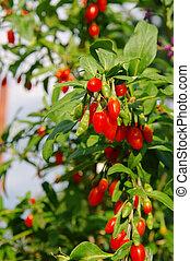 goji berry 03