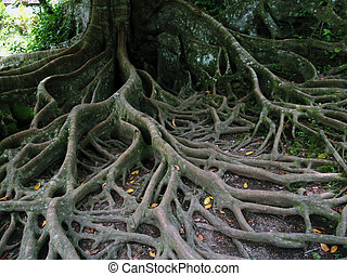 tree roots network - very complicated network of tree roots...