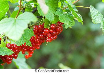 berries of red currant