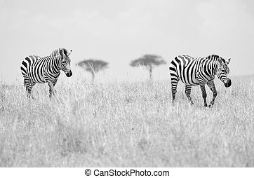 Two zebras - A pair of zebras on the African plains of the...
