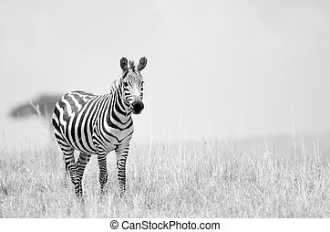 Zebra - A zebra on the African plains of the Masai Mara in...