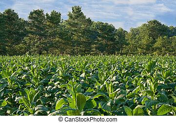 tabaco, campo