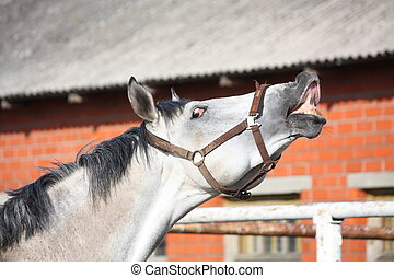 Smiling gray horse - Happy smiling gray latvian breed horse...
