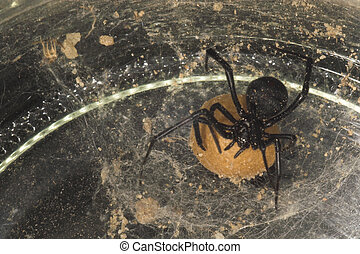 Black Widow Spider - The deadly female black widow spider in...