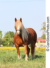 Palomino draft horse eating grass at the pasture - Palomino...