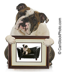 young puppy grown dog - english bulldog holding picture of...