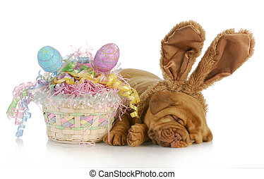easter dog - dogue de bordeaux wearing bunny ears laying...