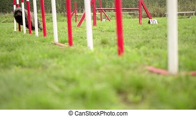 Dog agility with pet doing slalom - Pets racing in...