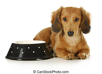feeding the dog - long haired dachshund laying beside a bowl...