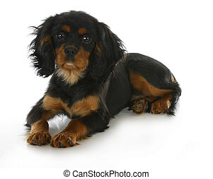 cavalier king charles spaniel - black and tan cavalier king...