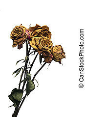 Dying Long Stem Roses - Dead long stem roses isolated on...