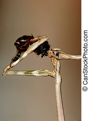 Mantis eating a bee - A mantis eating a catched bee