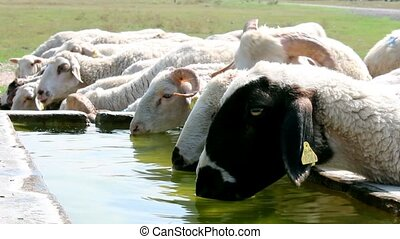 sheep drinking water  - sheep drinking water