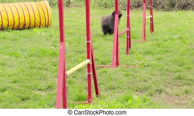 Pets running, agility race with dog - Pet racing in...