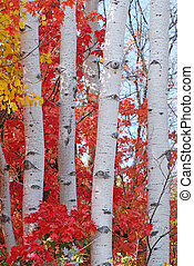 Aspen Trees in Autumn - Upclose trunks of aspen trees during...