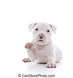 American Staffordshire Terrier Dog Puppy waving while laying