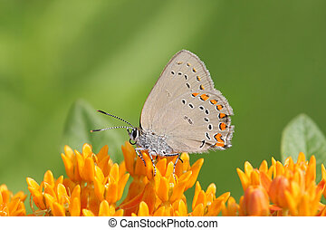 Coral Hairstreak Butterfly (Satyrium titus) on Milkweed...