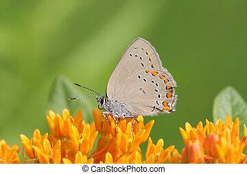 Coral Hairstreak Butterfly (Satyrium titus) on Milkweed...