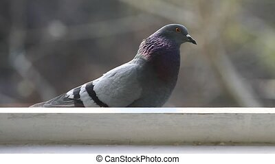 pigeon - the pigeon is sitting on the window and a bite of...