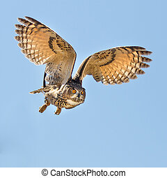 Eagle owl flying for a kill - Eurasian Eagle Owl in flight...