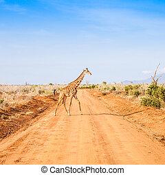 Free Giraffe in Kenya - Kenya, Tsavo East National Park Free...