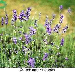 Field of flowering Lavarden plants - Field of flowering...