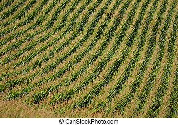 rows of corn on a farm for harvesting