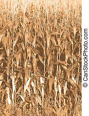 corn growing on farm in iowa