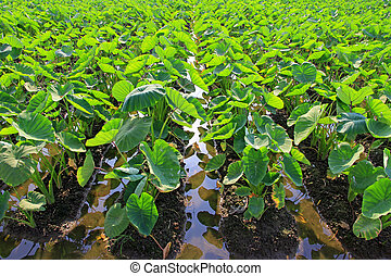 Taro plants - A field of taro plants growing in Thailand