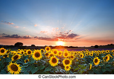 Sunflower Summer Sunset landscape with blue skies