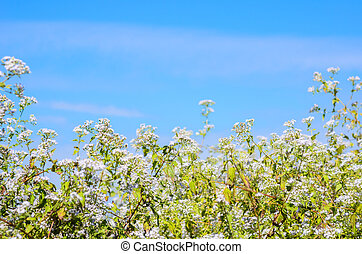 White and green meadows and blue sky