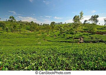 Sri Lankan tea plantation - Wide angle shot of a Vivid green...