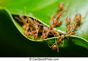red ant teamwork in the nature