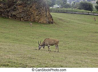 Wild deer - Wild grazing in mountain, animal in freedom,...