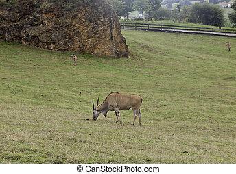 Wild deer - Wild grazing in mountain, animal in freedom,...