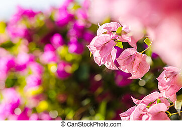 Pink blooming bougainvilleas in the nature