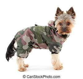 Yorkshire terrier in winter camouflage clothes, isolated on...