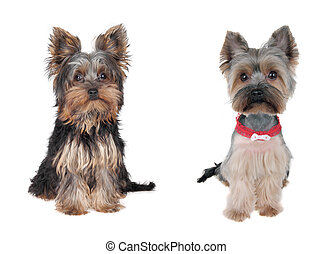 Yorkshire Terrier - Before and after - cutting hair