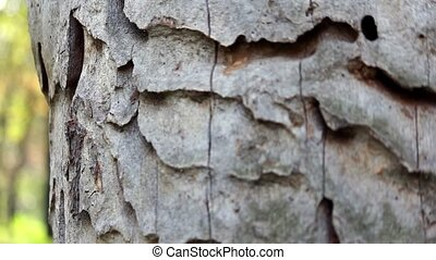 Trunk of the tree with exfoliated bark eaten borers