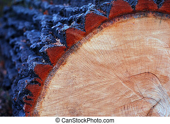 Cut oak trunk - cut oak trunk with annual rings