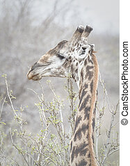 Male Giraffe - A Giraffe in Africa Looks at us looking at...