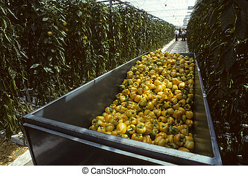 Harvesting bin of yellow bell peppers in a glasshouse