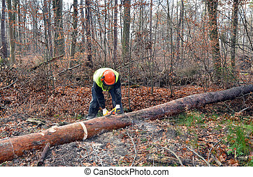 sawing a tree - lumberjack during work in forest