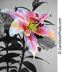 Lily selective color - Asian Lilies selective color Image...