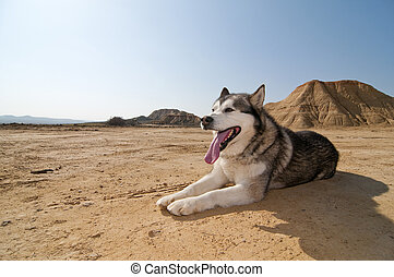 Alaskan at desert - Winter doggy resting at desert