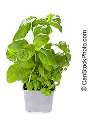 potted basil plant - basil herb growing in a plastic pot...