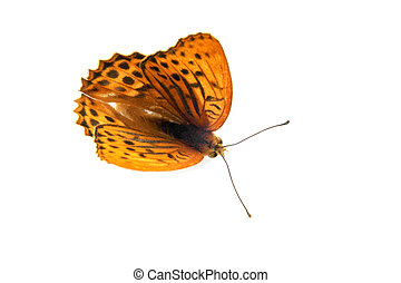 A close up of the butterfly (Silver-washed Fritillary) on a...